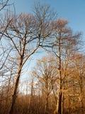 εσωτερικό ξύλο με πολλούς ψηλή δασική δασώδης περιοχή κορμών δέντρων γυμνή Στοκ φωτογραφίες με δικαίωμα ελεύθερης χρήσης