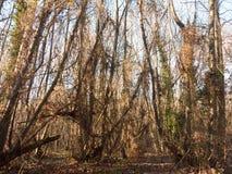 εσωτερικό ξύλο με πολλούς ψηλή δασική δασώδης περιοχή κορμών δέντρων γυμνή Στοκ Εικόνα