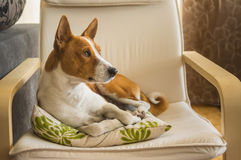 Εσωτερικό πορτρέτο του χαριτωμένου σκυλιού basenji που έχει το υπόλοιπο στην αγαπημένη θέση του μέσα Στοκ Εικόνες