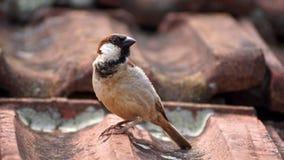 Εσωτερικό πουλί σε μια στέγη Στοκ Φωτογραφίες