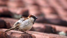 Εσωτερικό πουλί σε μια στέγη Στοκ φωτογραφίες με δικαίωμα ελεύθερης χρήσης