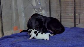 Εσωτερικό πόσιμο γάλα σκυλιών κουταβιών απόθεμα βίντεο