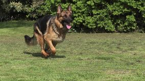 Εσωτερικό σκυλί, γερμανικό σκυλί ποιμένων, θηλυκό που τρέχει στη χλόη απόθεμα βίντεο