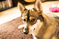 Εσωτερικό σκυλί Στοκ εικόνες με δικαίωμα ελεύθερης χρήσης