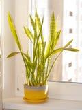εσωτερικό φυτό Στοκ εικόνες με δικαίωμα ελεύθερης χρήσης