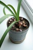 εσωτερικό φυτό Στοκ Εικόνες