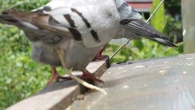 Εσωτερικό parasitge στο κατευθυμένος αυτομάτως πουλί περιστεριών φιλμ μικρού μήκους