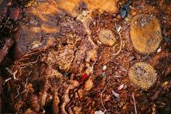Ετήσια αύξηση σε ένα κούτσουρο Ξύλινο υπόβαθρο δέντρων Στοκ Φωτογραφία