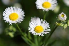 Ετήσια fleabane ή μαργαρίτα annuus Erigeron fleabane στο φυσικό περιβάλλον Στοκ φωτογραφίες με δικαίωμα ελεύθερης χρήσης