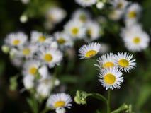 Ετήσια fleabane ή μαργαρίτα annuus Erigeron fleabane στο φυσικό περιβάλλον Στοκ εικόνες με δικαίωμα ελεύθερης χρήσης