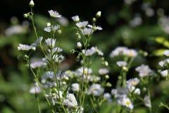 Ετήσια fleabane ή μαργαρίτα annuus Erigeron fleabane στο φυσικό περιβάλλον Στοκ Εικόνες