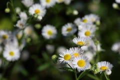 Ετήσια fleabane ή μαργαρίτα annuus Erigeron fleabane στο φυσικό περιβάλλον Στοκ Εικόνα