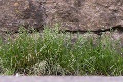 Ετήσιο meadow-grass & x28 Poa annua& x29  εγκαταστάσεις στο λουλούδι Στοκ Εικόνα
