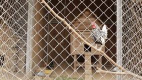 Ετερόκλητος και όμορφος διακοσμητικός κόκκορας σε ένα κλουβί στο ζωολογικό κήπο απόθεμα βίντεο