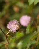 Ευαίσθητες λουλούδια και μέλισσα εγκαταστάσεων Στοκ φωτογραφίες με δικαίωμα ελεύθερης χρήσης
