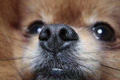 Ευαίσθητο ρύγχος ενός σκυλιού Στοκ φωτογραφία με δικαίωμα ελεύθερης χρήσης