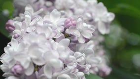 Ευγενές ελαφρύ λουλούδι της πασχαλιάς σε έναν κήπο άνοιξη φιλμ μικρού μήκους