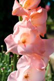 Ευγενές ρομαντικό gladiolus Στοκ εικόνες με δικαίωμα ελεύθερης χρήσης