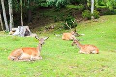 Ευγενές Deers Στοκ Εικόνα