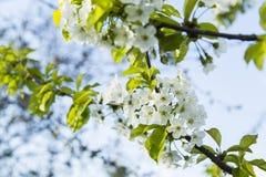 Ευγενής άσπρη άνθιση ανθών δαμάσκηνων Στοκ εικόνα με δικαίωμα ελεύθερης χρήσης