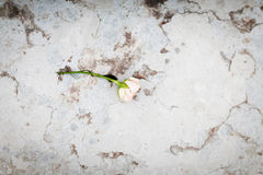 Ευγενής αυξήθηκε στο μάρμαρο sairs Στοκ Φωτογραφία