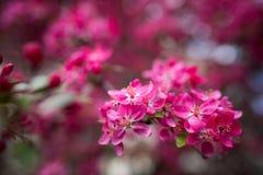 Ευγενή καλά ρόδινα ευώδη λουλούδια άνοιξη ενός Apple-δέντρου παραδείσου Στοκ εικόνες με δικαίωμα ελεύθερης χρήσης