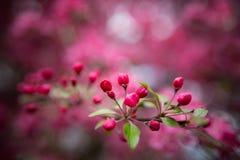 Ευγενή καλά ρόδινα ευώδη λουλούδια άνοιξη ενός Apple-δέντρου παραδείσου Στοκ εικόνα με δικαίωμα ελεύθερης χρήσης