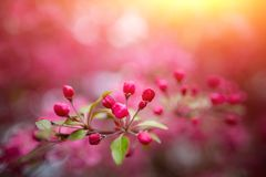 Ευγενή καλά ρόδινα ευώδη λουλούδια άνοιξη ενός Apple-δέντρου παραδείσου Στοκ φωτογραφία με δικαίωμα ελεύθερης χρήσης