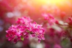 Ευγενή καλά ρόδινα ευώδη λουλούδια άνοιξη ενός Apple-δέντρου παραδείσου Στοκ φωτογραφίες με δικαίωμα ελεύθερης χρήσης