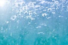Ευγενή λουλούδια της Daisy στο μπλε υπόβαθρο Όμορφη θερινή φωτογραφία με τα wildflowers Εκλεκτική μαλακή εστίαση στοκ εικόνες