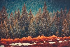 Ευθείες σειρές των δέντρων πεύκων carpathians Ουκρανία Στοκ φωτογραφία με δικαίωμα ελεύθερης χρήσης