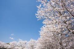Ευθυγραμμισμένα άνθη κερασιών Στοκ φωτογραφία με δικαίωμα ελεύθερης χρήσης