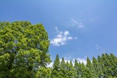 Ευθυγραμμισμένα δέντρα metasequoia Στοκ εικόνες με δικαίωμα ελεύθερης χρήσης