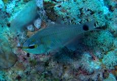 Ευθυγραμμισμένη πορτοκάλι Ερυθρά Θάλασσα Cardinalfish Στοκ φωτογραφία με δικαίωμα ελεύθερης χρήσης