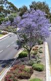 Ευθυγραμμισμένη Jacaranda λεωφόρος πάρκων στο πάρκο BALBOA στο Σαν Ντιέγκο, Καλιφόρνια Στοκ Εικόνα