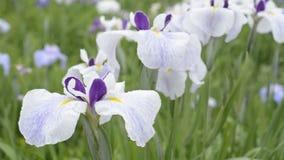 Ευθυγραμμισμένος τρία λουλούδια χρωμάτων φιλμ μικρού μήκους