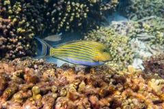 ευθυγραμμισμένος surgeonfish Στοκ Εικόνα