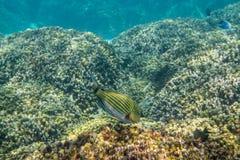 ευθυγραμμισμένος surgeonfish Στοκ Εικόνες