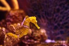 Ευθυγραμμισμένο seahorse erectus ιππόκαμπων Στοκ φωτογραφίες με δικαίωμα ελεύθερης χρήσης