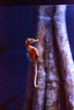 Ευθυγραμμισμένο seahorse erectus ιππόκαμπων Στοκ φωτογραφία με δικαίωμα ελεύθερης χρήσης
