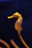 Ευθυγραμμισμένο seahorse erectus ιππόκαμπων Στοκ Εικόνες