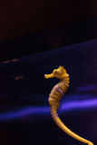 Ευθυγραμμισμένο seahorse erectus ιππόκαμπων Στοκ εικόνα με δικαίωμα ελεύθερης χρήσης