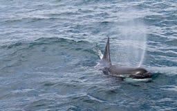 ΕΥΘΥΜΟ ORCA ΠΟΥ ΕΜΦΑΝΊΖΕΤΑΙ ΣΤΟΝ ΨΕΚΑΣΜΌ ΑΠΌ BLOWHOLE ΤΟΥ στοκ εικόνες με δικαίωμα ελεύθερης χρήσης