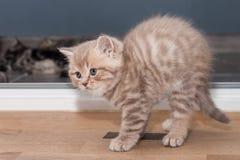 Ευθύ σκωτσέζικο γατάκι Pedigreed Στοκ φωτογραφία με δικαίωμα ελεύθερης χρήσης