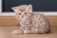 Ευθύ σκωτσέζικο γατάκι Pedigreed Στοκ εικόνα με δικαίωμα ελεύθερης χρήσης