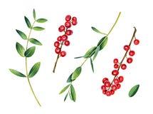 Ευκάλυπτος και ilex κλάδοι Κόκκινος winterberry στοκ φωτογραφία με δικαίωμα ελεύθερης χρήσης