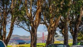Ευκάλυπτος στο Σαν Φρανσίσκο Στοκ Φωτογραφία