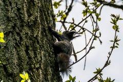 Ευκίνητος σκίουρος σε έναν φλοιό δέντρων στοκ εικόνα