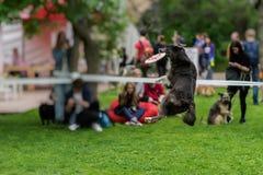 Ευκίνητο, αστείο και σκυλί παιχνιδιού στη χλόη στο θερινό πάρκο κατά τη διάρκεια της σύλληψης ενός δίσκου frisbee, στιγμή άλματος Στοκ εικόνες με δικαίωμα ελεύθερης χρήσης