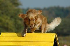 Ευκινησία σκυλιών Στοκ Φωτογραφίες